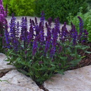 Be colorful all summer with long blooming perennials for Colorful low maintenance perennials